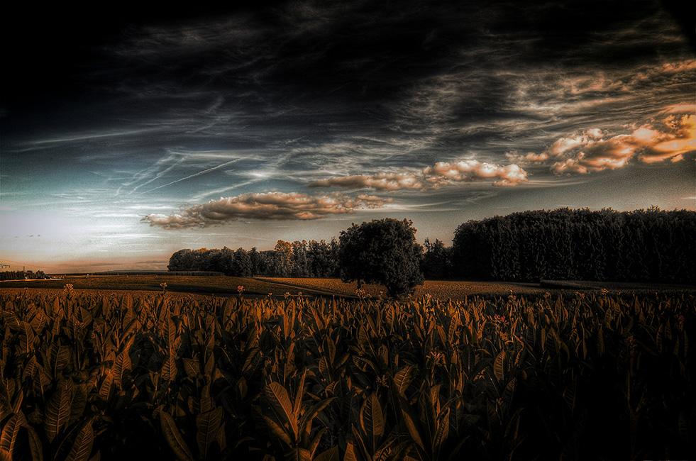 Tabakfelder
