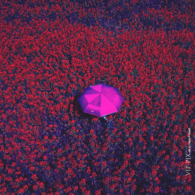 Rapsfeld mit Regenschirm farblich verändert: