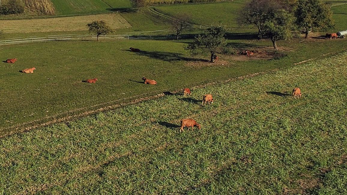 Kühe auf der Weide (Drohnenaufnahme)