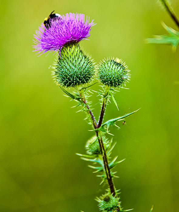Mariendistel - Die Blume von Schottland