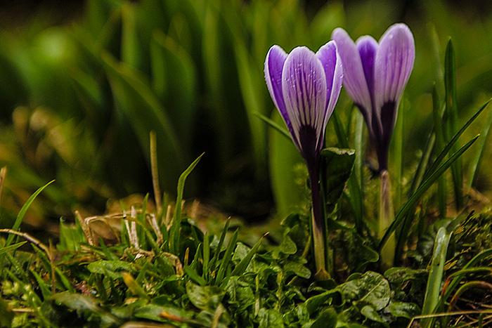 Frühlingsboten, der Krokus