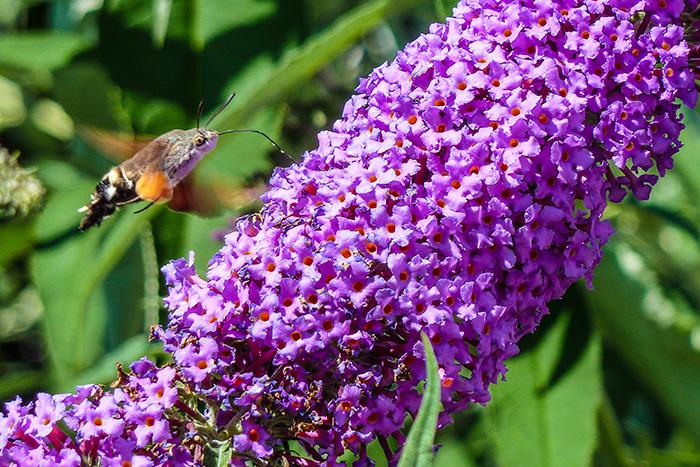 Schmetterlingsflieder  oder auch Sommerflieder genannt